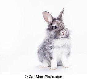 białe tło, odizolowany, królik