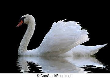 biały łabędź