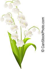 biały, dolina, lilia, odizolowany, tło