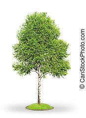 biały, drzewo, odizolowany, brzoza