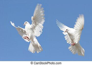 biały, gołębice, w locie