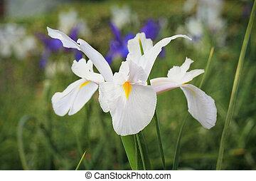 biały, holenderski irys, kwiat, casablanca