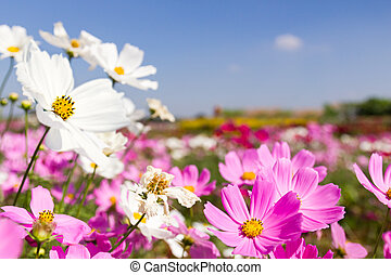 biały, i, różowy, kosmos, kwiaty