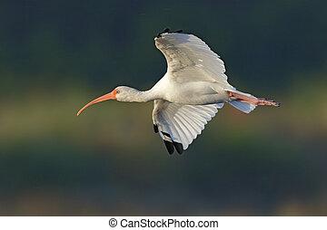 biały ibis, w locie, -, merritt, wyspa, floryda