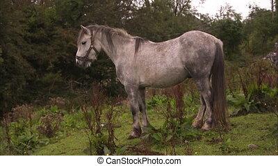 biały koń, brudny