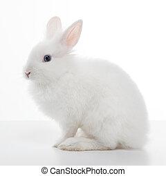 biały królik, odizolowany, na białym, tło