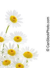 biały kwiat, margerytki, tło