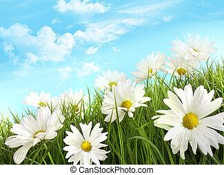 biały, lato, margerytki, w, wysoka trawa