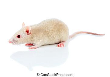 biały, mysz