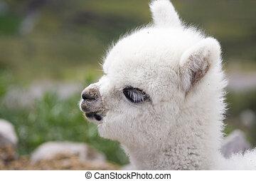 biały, niemowlę, alpaka