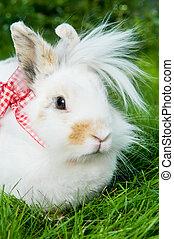 biały, trawa, zielony, królik