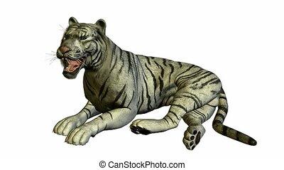 biały tygrys, kładzenie