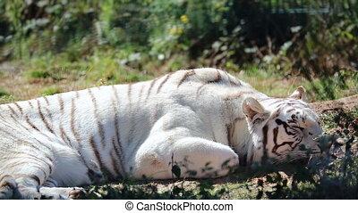 biały tygrys, spanie