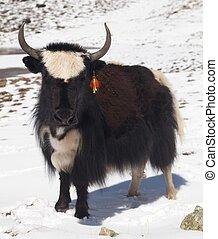 biały, yak, czarnoskóry, śnieg, tło