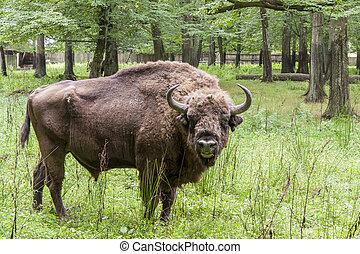 bialowieski, parque nacional, -, poland., aurochs, head.