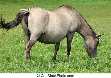 Bialowieza - national park and UNESCO World Heritage Site in Poland. Pregnant mare of konik, small breed of Polish semi-wild horses.