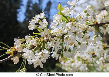 bianco, albero, fiore, con, cielo blu, sullo sfondo