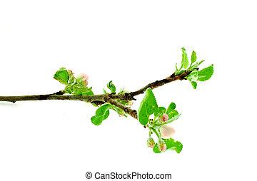 bianco, albero, mela, fondo, ramo