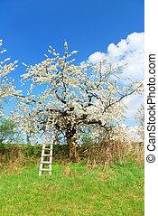 bianco, albero, mela, primavera, azzurramento