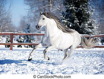 bianco, andalusian, cavallo, in, paddock