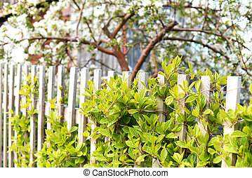 bianco, arbusto flowering