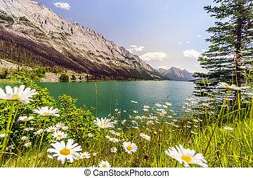 bianco, brughiera, asters, vicino, lago maligne, jasper parco nazionale, alberta, canada