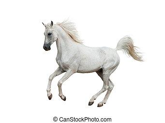 bianco, cavallo arabo