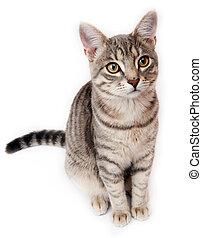 bianco, gattino, fondo, britannico, shorthair