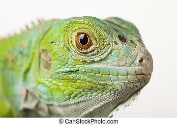 bianco, isolato, fondo, iguana