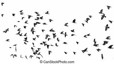 bianco, isolato, gregge, uccelli