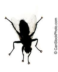 bianco, isolato, mosca domestica