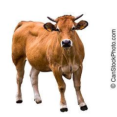 bianco, isolato, mucca