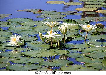 bianco, lotuses