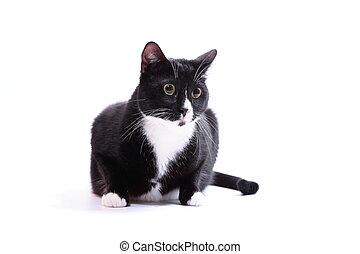 bianco, nero, isolato, gatto