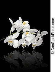 bianco, orchidee, su, sfondo nero