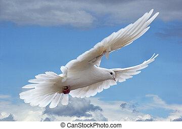 bianco, piccione, in, il, cieli