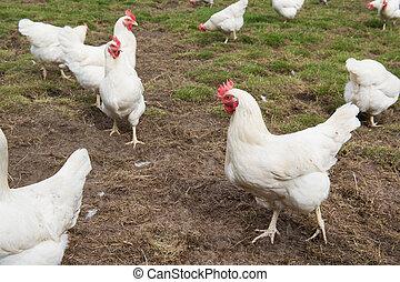 bianco, pollo