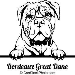 bianco, razza, danese, grande, sbirciando, -, cane, isolato, testa, bordeaux