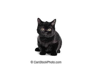 bianco, sfondo nero, gatto