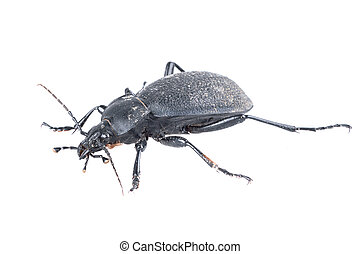bianco, sfondo nero, scarabeo