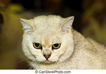 bianco, shorthair, britannico, gatto