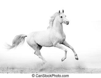 bianco, stallone