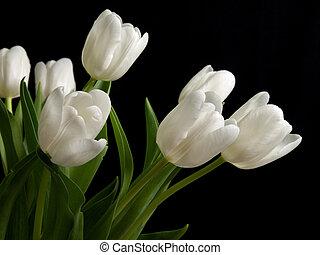 bianco, tulips, su, sfondo nero