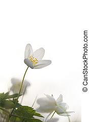 bianco, windflower