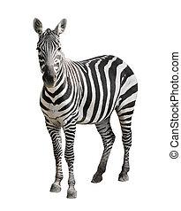 bianco, zebra, isolato