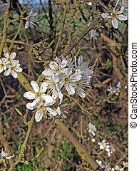biancospino, (crataegeus, monogyna), flowers.