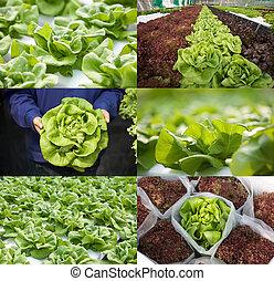 Bibbl lettuce or butterhead lettuce in various views