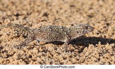 Bibron gecko (Pachydactylus bibronii), Kalahari desert,...