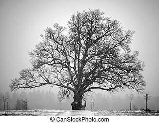 Bicentennial oak tree in winter day. Monochrome photography.