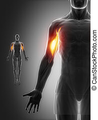 biceps brachii - anatomy muscles map